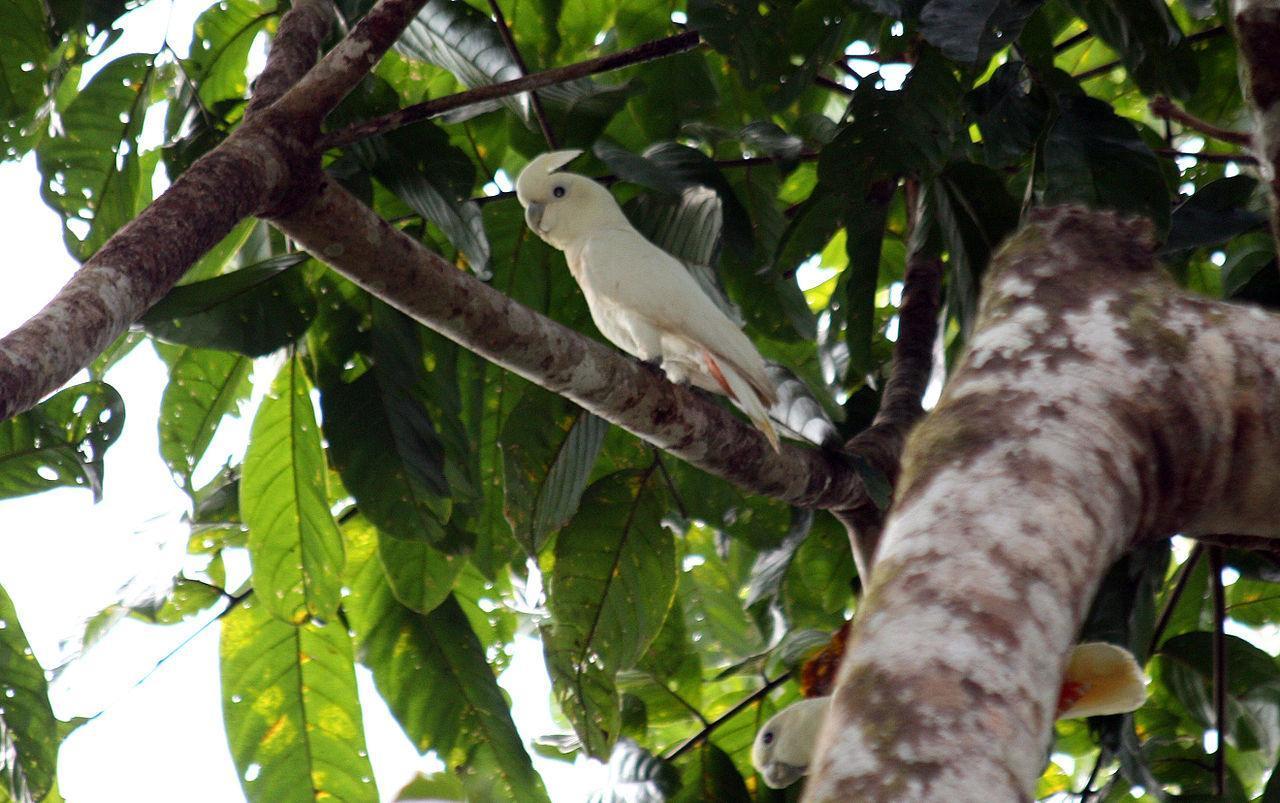 Philippine Cockatoo or Kalangay
